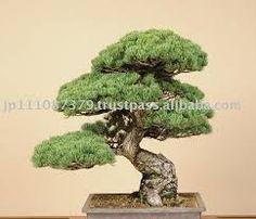 japanese tree - Szukaj w Google