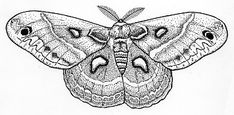 "Cecropia Moth $10.95    4 7/8"" X 2 1/4"""