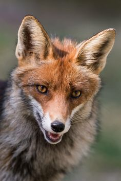 Red Fox by Stefanie Rehpöhler on Planeta Animal, Wolf Hybrid, Fox Dog, Cute Cats And Dogs, Cute Baby Animals, Spirit Animal, Animal Photography, Mammals, Animal Pictures