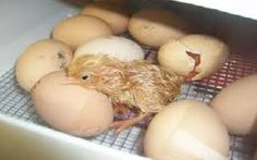 How To Incubate & Hatch Eggs