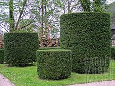 TAXUS_BACCATA_TOPIARY