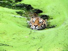 Coraggiosi come tigri!