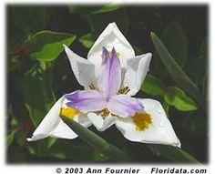 african iris- easy to grow Flora Garden, Tropical Garden, Tropical Plants, Garden Bulbs, Shade Garden, Planting Succulents, Planting Flowers, Succulent Plants, African Iris