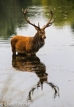 Swimming stag by Clare Forster - great pic from #mukluks country mukluks.com