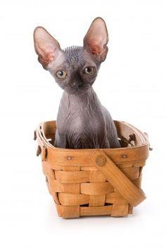 sphynx kitten. - http://www.familjeliv.se/?http://orjw896561.blarg.se/amzn/fabr13725