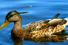 We want a duck or two so they can lay us eggs and clean the garden of any nasty insects