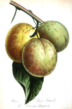 Botanical - Fruit - Plums, green.jpg (1040×1576)