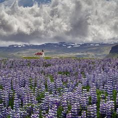 A sea of beautiful Lupins - Iceland