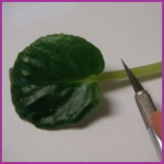 Propagating African violets from leaf cuttings is simple and rewarding.