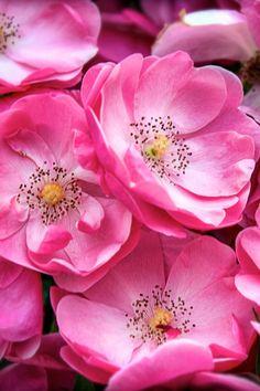beautiful_wild_roses.jpg (640×960)