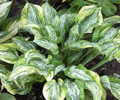 Hosta Winter Lightning - Gardening And Living