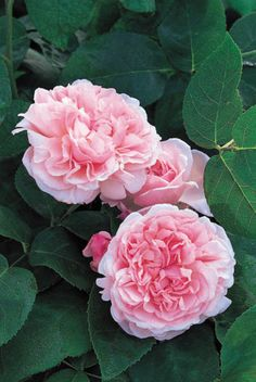 How to resist the charm and fragrance of this lovely Rose? Rose 'St Swithun' produces very large, fully double flowers, full of over 120 frilly petals neatly arranged around a central button eye