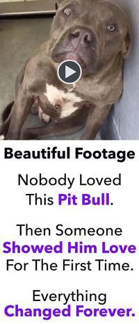 As dog lovers, it's very difficult for us to understand why someone would ever subject one of our beloved friends to the torture of dog fighting. That's exactly what happened to this beautiful pit bull. Thankfully, a handful of good people were able to re Animal Shelter, Animal Rescue, Shelter Dogs, Shelters, Rescue Dogs, I Love Dogs, Puppy Love, Animals Beautiful, Cute Animals