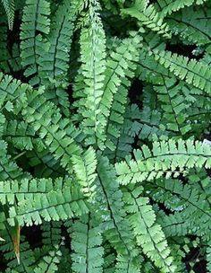 Adiantum caudatum,buy Walking Maidenhair Fern for sale-Plant Delights Nursery, Inc.