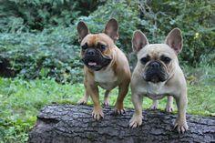Cute French Bulldogs!