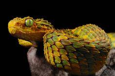 Macro Squamigera - Reptile Forums