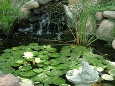 Loving the lily pads #lily #pond #fish #Tetrapond