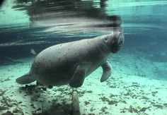 Manatees - save them and we save ourselves