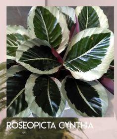 Calathea Calathea, Plant Leaves