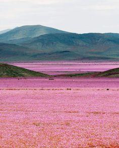 Flores en el desierto? Yes, existe!... Desierto Florido - Atacama, Chile.