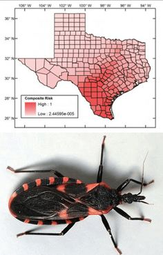 Chagas disease: transmission and symptoms  Texas veterinarians reported 530 cases of Chagas disease in dogs over the past 15 years. The parasite also infects humans, causing acute symptoms such as fever and swollen lymph nodes, and can progress over years and result in multi-organ failure. Transmitted by the reduvid bug, which takes a blood meal and then defecates Trypanosoma cruzi organisms into the skin wound, Chagas disease is present in some 10 million people worldwide.