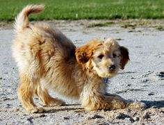 Ellie the Goldendoodle puppy just playing