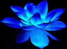Blue+Lotus+flower