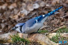 BlueJay Eating Seed