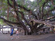Banyan tree lahaina maui money saving offer ovation of the seas maui hawaii this old banyan tree in downtown lahaina was very cool maui was a nice place to visit but my hearts in the caribbean fandeluxe Choice Image