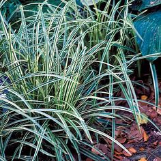 carex-morrowii -ice-dance is a wonderful low-maintenance plant