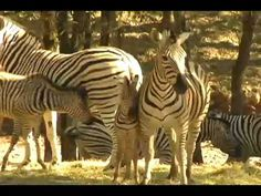 In the hills above the Sonoma Wine Country, check out the wild animals at Safari West. Just minutes from Santa Rosa, Sonoma and Napa.
