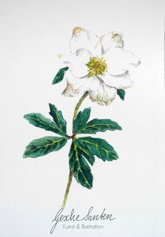 Helleborus Aquarell - Traditionelles Wintergrün und seine Bedeutung   Gesche Santen