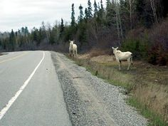 The odds of seeing an albino moose are astronomical and to see this in the upper peninsula of Michigan, near Wisconsin, is even greater than astronomical. To see two of them together is nearly impossible Albino Moose, Moose Pics, Riding Mountain National Park, Michigan Usa, Northern Michigan, Minnesota, All Gods Creatures, Nature Pictures, Beautiful Creatures