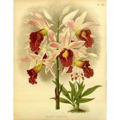 Phajus Cookson Orchid