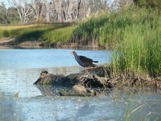 Eastern Swamp Hen, near Lowbank.   Realy enjoyed watching him and his mate wander along flicking their white tails!