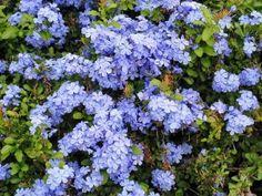 Enredadera con flores plumbago - jazmin del cielo