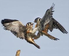There are squabbling couples, and then there are squawking couples. These two bird brains let their claws show after a spat erupted as the two American Kestrels tried to teach their young how to succeed in the wild.