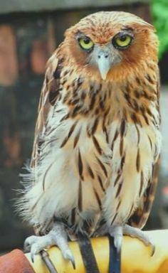 Filipin Owl ( bubon filipansi )