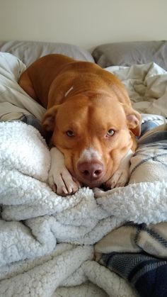 Feb 2020 - Which Pitbull mix breed is the perfect fit for you and your family? Learn about more than 44 different kinds of Pitbull mixes with facts and pictures. Pitbull Dog Names, Pitbull Mix Breeds, Puppy Breeds, Amstaff Terrier, Pitbull Terrier, Scary Dogs, Cute Dogs And Puppies, Doggies, Beautiful Dogs