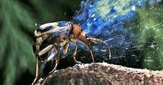 Escarabajo bombardero (Brachinus crepitans) Nativo del sur de Inglaterra. Artrópodo con más de 500 especies. Se reproduce sexualmente. Posee un mecanismo de defensa para el cual utiliza 2 sustancias combinadas con precisión de tiempo y dosis: hidroquinona y peróxido de hidrógeno. La descarga supera más de 100ºC. Almacenadas en cámaras especiales hasta hacer uso de su contenido a los que agrega una enzima inhibidora que impide que se lleve acabo la explosión en el interior del insecto.