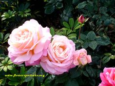 large bloom roses | The garden looks lovely when the roses are in bloom | File#14:Large ...