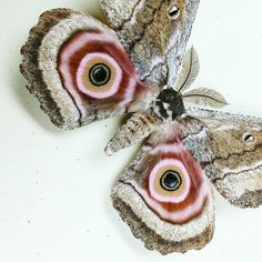 Amazing. . . . #moth #beautiful #entomologyart #entomology #insect #insectart #pink #nature #natural #greenbeetleshop