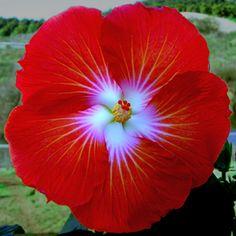 'Saffron' Hibiscus ....how pretty!