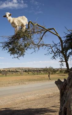 Well this looks completely safe. Is it good luck to walk under a goat in a tree? (Goats in Argan Trees Photos - Morocco ) Cute Funny Animals, Funny Animal Pictures, Cute Baby Animals, Farm Animals, Animals And Pets, Beautiful Creatures, Animals Beautiful, Cute Goats, Photo Animaliere