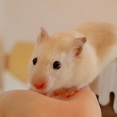 Cutest hamster EVER!