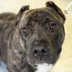 Biggie is an adoptable Pit Bull Terrier Dog in New York, NY. Big fan of: Every person he meets (though his foster mom thought he might have a slight preference for men); feeling loved and being affect...