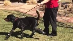 A Rottweiler who lost all four paws due to neglectful breeders who left him outside in freezing temperatures is able to walk thanks to new prosthetic paws.