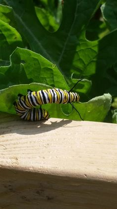 Hungry Monarch Butterfly Caterpillar Trying to Eat a Watermelon Leaf.
