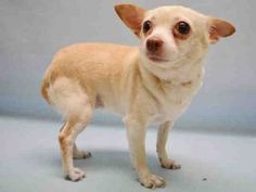 PRINCESSA – A1075089  FEMALE, CREAM, CHIHUAHUA SH MIX, 6 yrs STRAY – ONHOLDHERE, HOLD FOR ID Reason STRAY Intake condition UNSPECIFIE Intake Date 05/25/2016, From NY 10026, DueOut Date 06/02/2016,