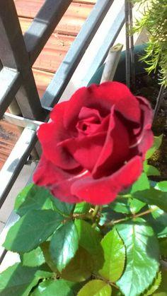 La prima #rosa di quest'anno! #rosa #rossa #red #rose